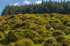 frocken (snagbreac) Tags: frocken plant humps lumps bumpy green