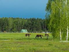 Pastoral (cнαт-ɴoιr^^) Tags: 20170509imgp3006 nature flora fauna wald forrest wood sylvan birke birch pferde horses fohlen foal weide wiese meadow pferdezucht zuchtundausbildungsstall schadock