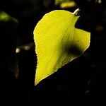Back-lit Leaf thumbnail