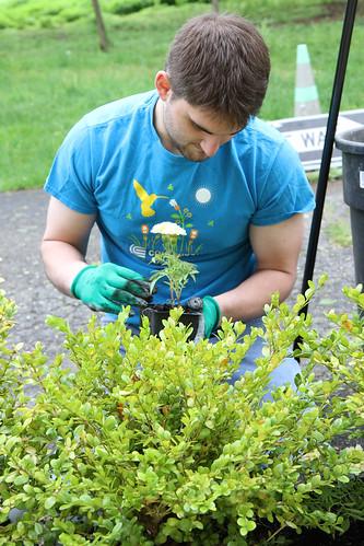 Planting Deer resistant marigolds