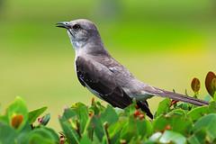 Northern Mockingbird Mimus polyglottos (die Augen) Tags: mockingbird bird feathers singing sl1 canon