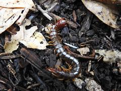 Cormocephalus sp. (Jackson Nugent) Tags: cormocephalus centipede myriapod arthropod bug animal australia scolopendridae scolopendromorpha