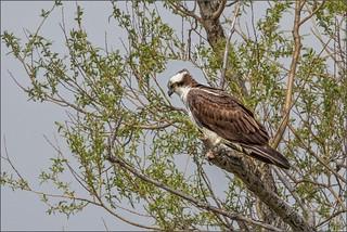 8655-  Osprey, across the river
