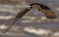IMG_2491 Osprey hunting (cmsheehyjr) Tags: cmsheehy colemansheehy pandionhaliaetus nature wildlife bird osprey hawk fishhawk floodwall jamesriver richmond virginia