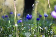 Anemone coronaria (Stefano Rugolo) Tags: pentax k5 colors bokeh smcpentaxm50mmf17 italy spring 2017 plant outdoor depthoffield anemone anemonecoronaria blossom purple green light fabriano appennini nature flowers meadow focus grass macro marche stefanorugolo