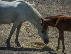 Horses (GttHard) Tags: camargue croisièresurlepetitrhône petitrhône manade animal cheveaux poulin fohlen foal france