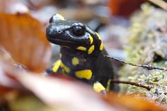 Feuersalamander (Aah-Yeah) Tags: feuersalamander firesalamander schwanzlurch caudata larven weibchen bach achental chiemgau bayern