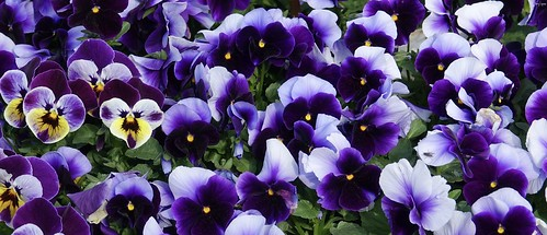 """Pansy Party • <a style=""""font-size:0.8em;"""" href=""""http://www.flickr.com/photos/52364684@N03/34538093795/"""" target=""""_blank"""">View on Flickr</a>"""