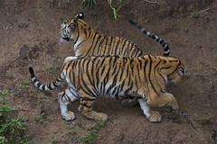 Heads or tails? (Pejasar) Tags: cubs play heads tails playful tigercubs guatemalacityzoo guatemala