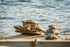 """Apparently turtles have no concept of """"my personal space"""" . . . (Dr. Farnsworth) Tags: lake ramp dock waterline turtles painted personalspace westlake mi michigan spring may2017"""
