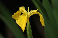 Yellow Iris (ekaterina alexander) Tags: yellow iris pseudacorus water spring flower flowers bud ekaterina england alexander sussex nature photography pictures