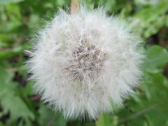 Taraxacum (pefkosmad) Tags: flower weed dandelion seed seedhead clock seeds taraxacum allotment andy andrew exeter macro