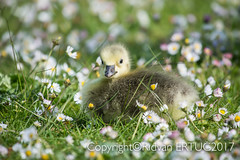 Canada Goose gosling!  Sitting on grass amongst daisies. Taken at Nene Country Park. (I'll catch up with you later, your comments and cr) Tags: rertug nenecountrypark canadagoosegosling nikkor200500mmf56eafsed nikond610fx wildlifephotography birdphotography