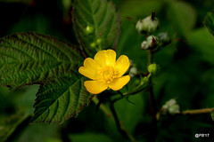 Golden Buttercup (postman.pete) Tags: wickedweasel hwcp lumix macro may spring