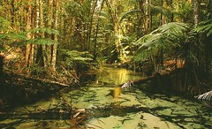 Australian rain forest. (esia_one) Tags: rainforest forest australia tropical tropic fraserisland fraser island water trees green beautiful photography nature wilderness farn freedom nikon d50 tour