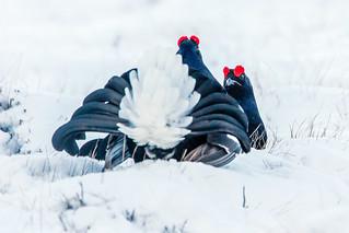 Black Grouse (7)