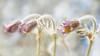 Three magic flower. (BirgittaSjostedt) Tags: flower macro three pulsatilla texturepaint painted magicunicornverybest ie birgittasjostedt nature pasque