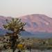 Cholla Cactus in Joshua Tree National Park - California
