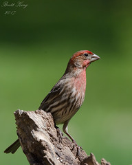 house finch (dbking2162) Tags: birds bird nature nationalgeographic indiana animal red green