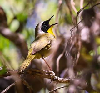 Common Yellowthroat sings in the corkscrew willow South Coast Botanic Garden 046