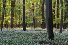 Im Bärlauchwald (nordelch61) Tags: hessen naturschutzgebiet mönchbruch wald wiesen baum bäume ast äste zweig zweige wurzel wurzeln bärlauch blüten blühen waldboden blütenteppich tree forest