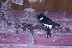House Martin Nest Building (John R Woodward Photography) Tags: housemartin nesting nature birds british night mothernature canon canon6d canondslr canonllenses canoneos canon6dwithllenses llenses