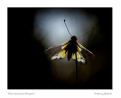 Asca D3 Vg Bd Sg IMG_6967-3-005 (thierrybarre) Tags: ascalaphe contrejour noir sombre papillon jaune