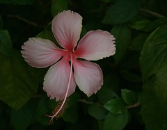 pink hibiscus (the foreign photographer - ฝรั่งถ่) Tags: pink hibiscus flower leaves garden vegetation bangkhen bangkok thailand canon