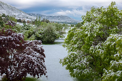 Fresh Snow in May (Howard Metz Photography) Tags: may snow springtime seasons trees blooming weather mountains hills utah wasatch saltlakecity valley hiddenvalley