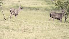 Morning visitors (Jan.Timmons) Tags: deer pacificnorthwest jantimmons howardmarsh backforty earlymorning 630am backlight doe morning nibblingleaves acres hectares wildandfree semihighkey