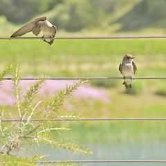 Birds on a Wire (cb|dg photo) Tags: salinasvalley soledad wrathwines outdoor bird sparrow