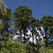 Trees on East Ridge Trail