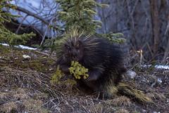 Frisky porcupine - EXPLORED (May 21, 2017) (JD~PHOTOGRAPHY) Tags: porcupine wild wildlife wildanimal banffnationalpark banff nature northamericanwildlife lake lakelouise canon canon6d
