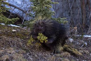 Frisky porcupine - EXPLORED (May 21, 2017)