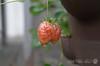 Fresh Strawberries (Something Wild Photography) Tags: fresh freshness strawberry strawberries berry fruit fruits waterdrop water drop droplet rain raining wet weather spring springtime grow growth growing food macro