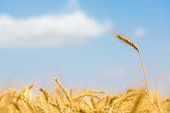 That the wheat harvest season (Yovel Rodoy) Tags: israel israeli agriculture agri nature wheat farming farm farmer farminglife fantasticnature landscape land sky clouds yellow blue outdoor outside field fields harvest valley