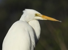 Eastern Great Egret - closeup (Free_aza_Bird) Tags: ardea modesta ardeamodesta eastern great egret easterngreategret balcombe creek balcombecreek mount martha mountmartha mornington peninsula morningtonpeninsula victoria australia bird birds birders