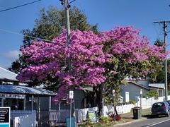 Brisbane, Paddington, pink trumpet trees IMG_20170704_110813 (ianw1951) Tags: brisbane queensland australia paddington trees flora floweringtrees pink