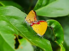 紅邊黃小灰蝶 (*泛攝影*) Tags: green 戶外 景深 panasonic gx7 color 探索 dof 台灣 taiwan 植物 性質 nature inexplore
