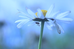 Spider & Moon Daisy  flower, Ian Wade (Disorganised Photographer - Ian Wade - Travel, Wil) Tags: oxeye daisy leucanthemum vulgare flower creative blue spider insect felton ian wade nature wild wwwianwadewildlifecom uk united kingdom