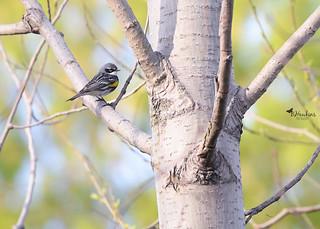 Yellow Rumped Warbler bird-0874