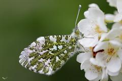 Aurorafalter (svensonkra26) Tags: insekt schmetterling falter frühjahr weisling outdoor april