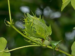 Baumwollpflanze (Eerika Schulz) Tags: baumwollpflanze baumwolle cotton gossypium algodón puyo pastaza ecuador