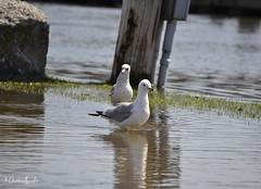 Seagulls (Krissy-Anne ♫) Tags: birds nature water ottawariver seagull bird