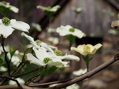 Dogwoods and the shed (pilechko) Tags: bowmanshill preserve newhope buckscounty pa dogwood flowers color bokeh
