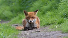 Red Fox (KHR Images) Tags: redfox fox vulpesvulpes wild mammal nature wildlife closeup wildandfree nikon d500 kevinrobson khrimages