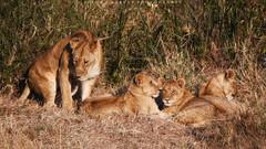 Family (simonjmarlan) Tags: lions serengeti africa wildlife cute cats