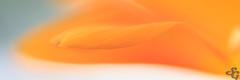 Couleurs de provence (Stéphane Gavoye) Tags: etiquettesdemotsclésimportées fleur macrophotographie provence couleur flore grimaud provencealpescôtedazur france fr