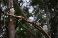 2 Kookaburras (Bl. Mtns. girl) Tags: kookaburra