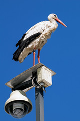 Überwachung?... nicht mit mir... (aq309) Tags: storch lampe adebar natur vogel bird blauer himmel nikon d5300 sigma 150 600 c schreitvögel ciconiidae